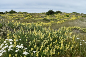 Yellow lupine on the dunes atLittle River State Beach - McKinleyville CA
