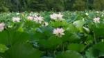 Kenilworth Aquatic Gardens - Washington DC