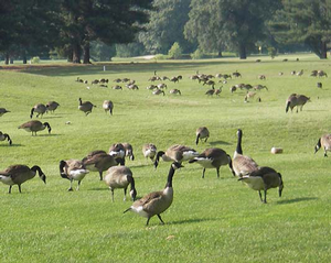 Canada Geese,Anacostia Park - Washington DC