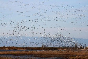 Snow Geese at the Sacramento Migratory Waterfowl Refuge