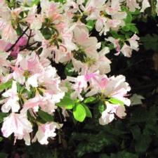 Azaleas atNational Arboretum - Washington DC