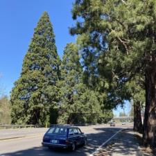 McLoughlin Boulevard Roadside Improvements, Sequoias viewed from Scott Avenue in Milwaukie