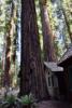 Redwood next toVisitors Center, Richardson Grove State Park - Garberville CA