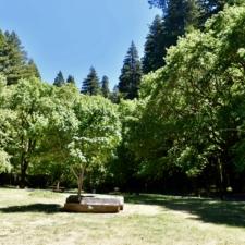 CCC maples around picnic areas, Burlington visitors' center - Humboldt Redwoods State Park