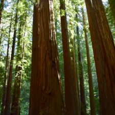Along the Founders Grove loop trail -Humboldt Redwoods State Park CA