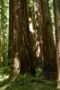 Redwoods near Bull Creek Flat - Humboldt Redwoods State Park CA