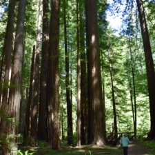 Along theRockefeller Loop Trail - Humboldt Redwoods State Park CA