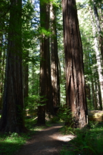 Along the Rockefeller Loop Trail - Humboldt Redwoods State Park CA